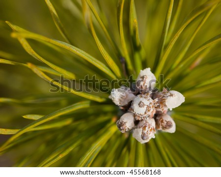 resin of a pine close up - stock photo