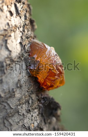 resin on the tree in nature. macro - stock photo