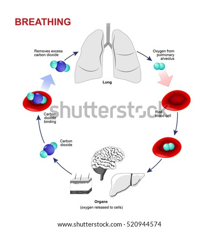 Respiration breathing gas exchange humans path stock illustration gas exchange in humans path of red blood cells oxygen ccuart Gallery