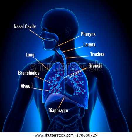 Respiratory System - detailed view - stock photo