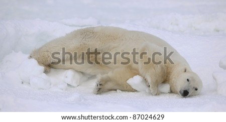 Rest of a polar bear. A polar bear having a rest on ice at water. - stock photo
