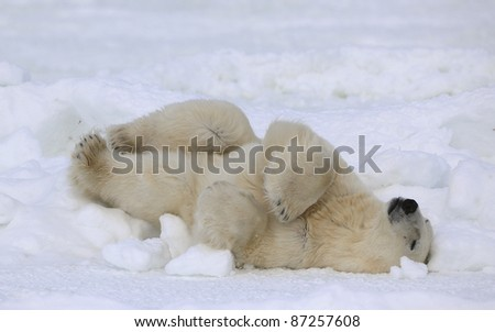 Rest of a polar bear. A polar bear having a rest on ice at water. - stock photo