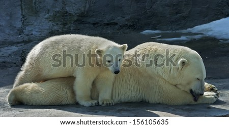 Rest of a polar bear family. Lying white bear mother with her cub is taking sun bath. Cute and cuddly live plush teddies and the most dangerous and biggest beast of the world. - stock photo