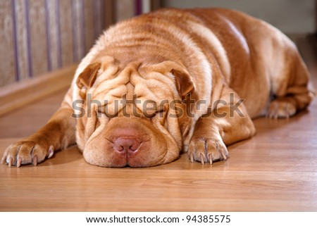 Rest of a Shar-pei  lying on a floor - stock photo