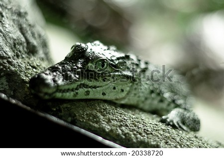 resting alligator waiting for a prey - stock photo