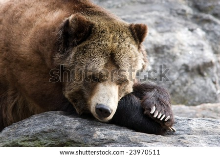 Resting bear - stock photo