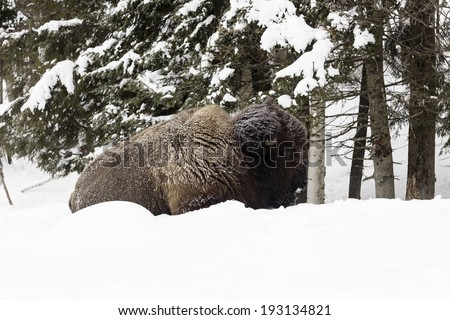 Resting buffalo  - stock photo
