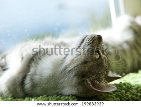 Resting cat, dreaming cat face close up, small sleepy lazy cat, lazy cat on day time, sleepy cat close up, animals, domestic cat, relaxing cat, cat resting - stock photo
