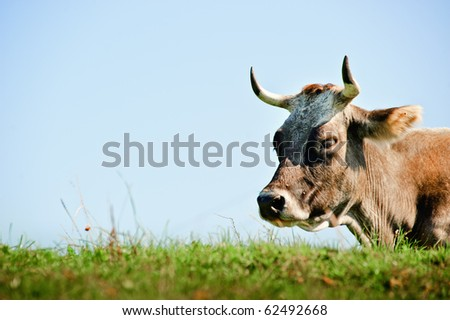 Resting Cow with Copyspace - stock photo