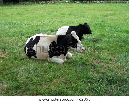 RESTING COWS IN FIELD