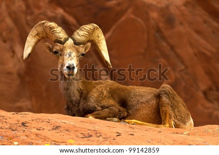 Resting Desert Big Horn Ram Sheep on Red Rocks