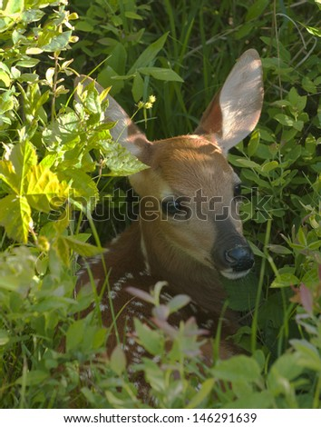 Resting fawn - stock photo
