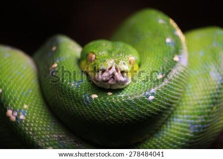 Resting green tree snake - stock photo