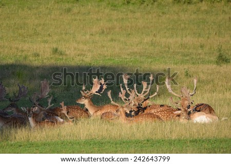 Resting herd of fallow deer at sunset on the meadow.  Fallow - (Dama dama )  - stock photo