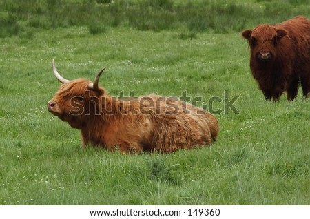 Resting Highland Cow - stock photo