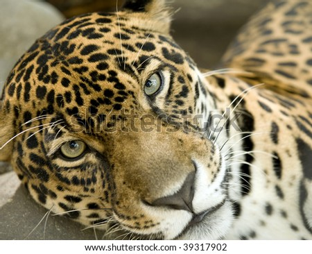 resting jaguar or panthera onca impatiently looking at camera - stock photo