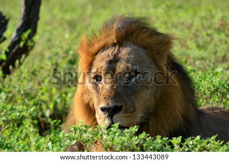 resting lion in Chobe national park in Botswana - stock photo
