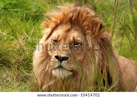 resting lion in savanna(South Africa) - stock photo