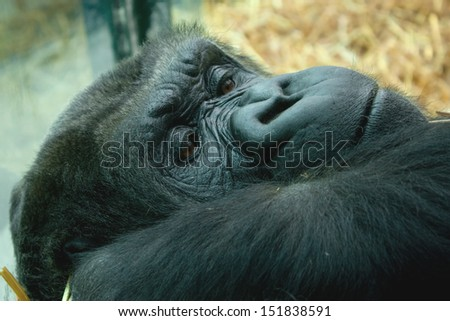 resting low land gorilla