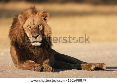 resting male lion - ruhender Loewe - stock photo