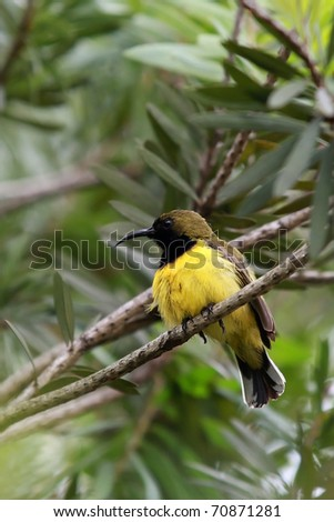 Resting Male Olive-backed Sunbird. It is also known as the Yellow-bellied Sunbird and found in Malaysia. They largely feed on nectar and also inserts when young. - stock photo