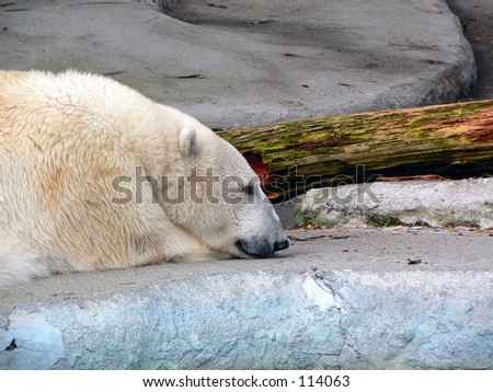 Resting polar bear. - stock photo
