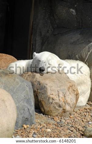 Resting Polar Bear - stock photo