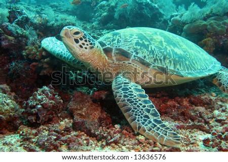 Resting sea turtle,Underwater indoneaia - stock photo