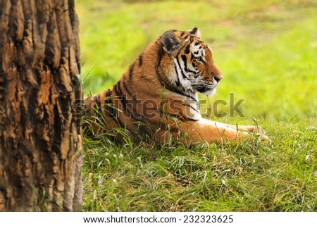 Resting tiger in the wild