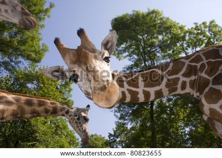 Reticulated giraffe (Giraffa camelopardalis reticulata) - stock photo