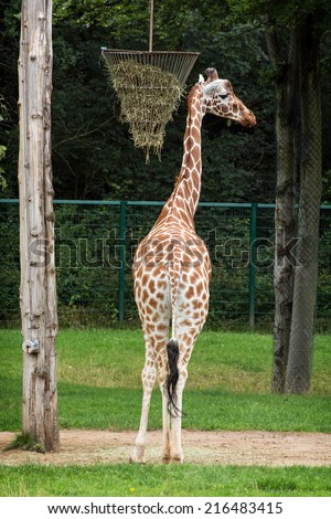 Reticulated giraffe (Giraffa camelopardalis reticulata), also known as the Somali giraffe, is a subspecies of giraffe native to Somalia, southern Ethiopia, and northern Kenya. - stock photo