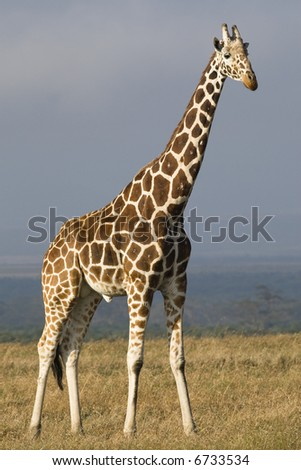 Reticulated Giraffe, Giraffa camelopardalis reticulata, Sweetwaters Game Reserve, Republic of Kenya, Eastern Africa - stock photo