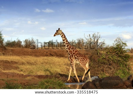 Reticulated Giraffe in African savannah