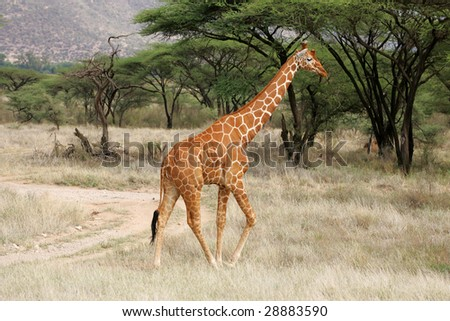 Reticulated Giraffe in Buffalo Springs National Park Kenya Africa - stock photo