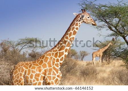 Reticulated giraffe portrait in Samburu reserve kenya - stock photo