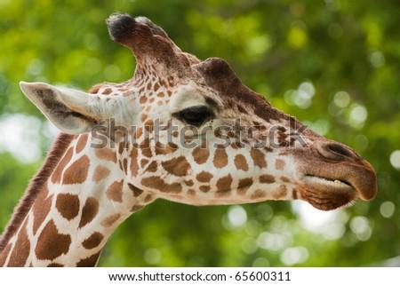 Reticulated giraffe portrait on sky backgrouns - stock photo