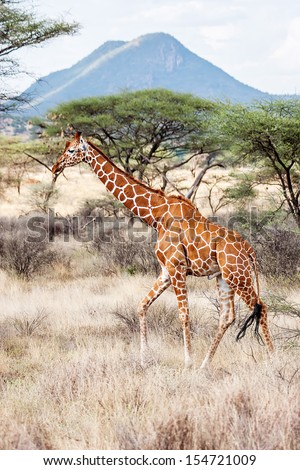 Reticulated Giraffe walking in the Savannah. Samburu, Kenya. Scientific name: Giraffa camelopardalis reticulata - stock photo