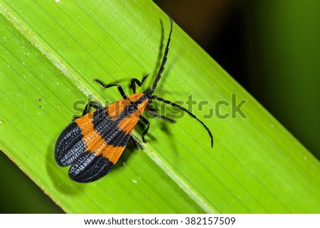 Reticulated Netwinged Beetle - stock photo