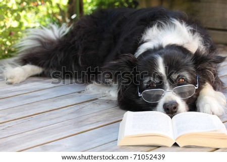 Retired Elderly Border Collie Dog Relaxing on Deck with Book - stock photo