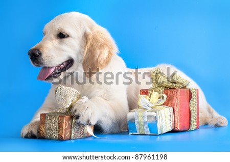 Retriever and Christmas gifts - stock photo
