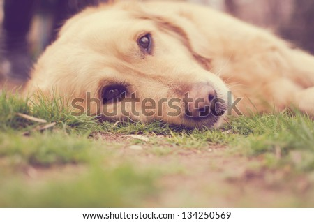 Retriever dog - stock photo