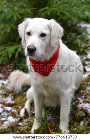 Retriever dog int the forest