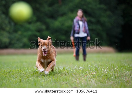 Retriever dog running fast to catch a yellow tennis ball, on a field with green grass in the forest - stock photo
