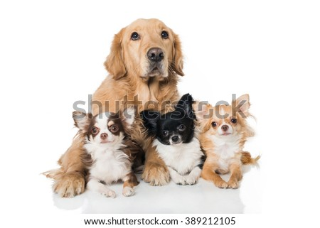 Retriever dog with chihuahuas