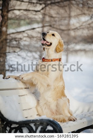 retriever in a park - stock photo