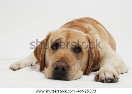 Retriever Labrador dog in studio - stock photo