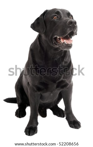 Retriever Labrador dog of a black shade lying in studio isloated - stock photo