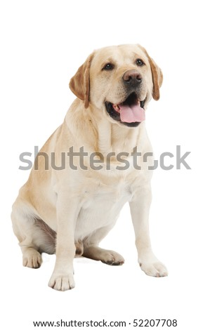 Retriever Labrador dog of a yellow ivory creme shade in studio isolated - stock photo