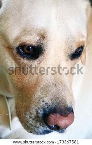 Retriever Labrador dog of a yellow ivory creme shade  portrait - stock photo