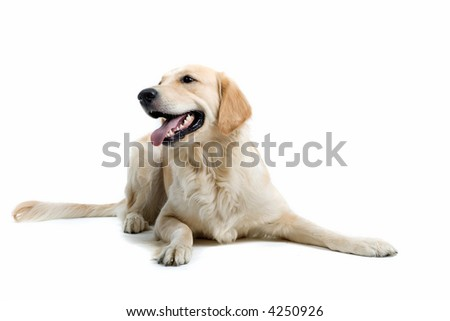 retriever labrador laying down on the ground - stock photo